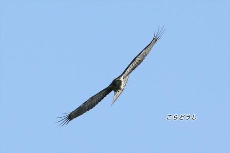 AJ4V1171ハチクマ_R.jpg
