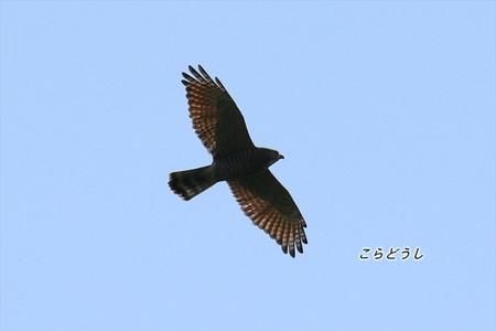 AJ4V1331サシバ_R.jpg